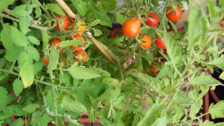 Ako zvýšiť úrodu balkónových rajčín