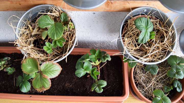 wintered strawberries