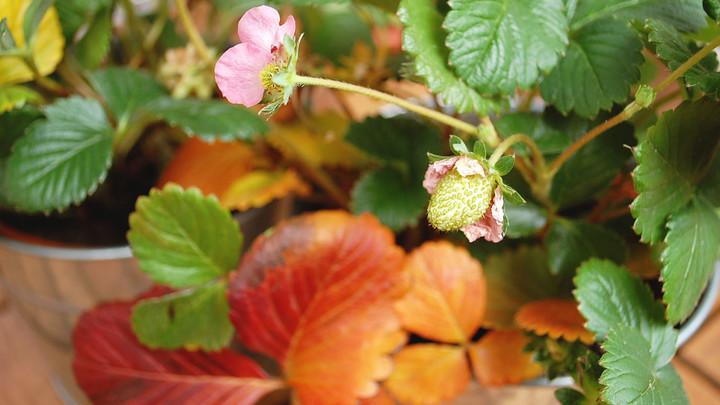 jahody v zime