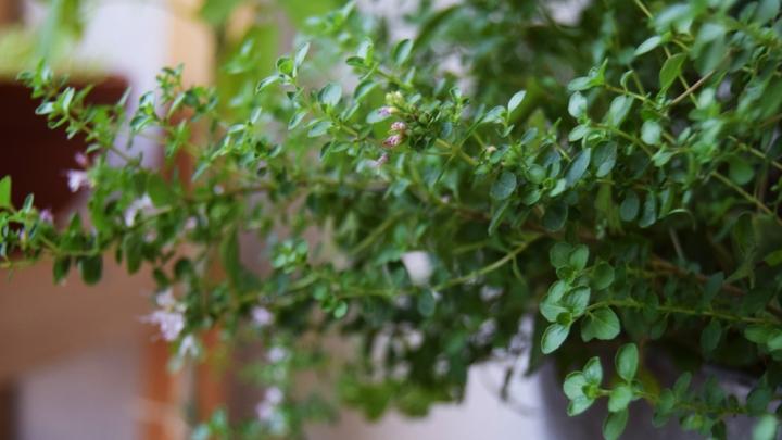 Origanum grown in partial shade