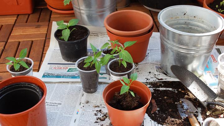 transplanting seedlings