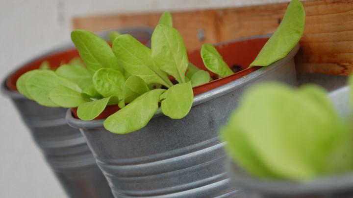 vertical lettuce garden