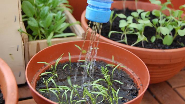 Polievanie mladých rastliniek