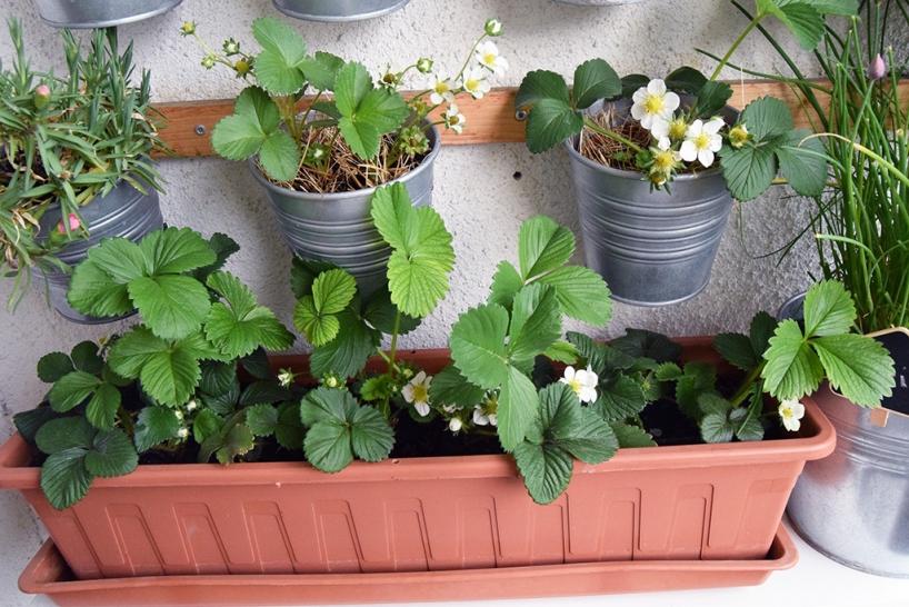 Strawberries in pots