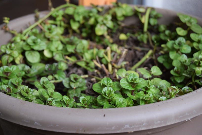 wintered mint