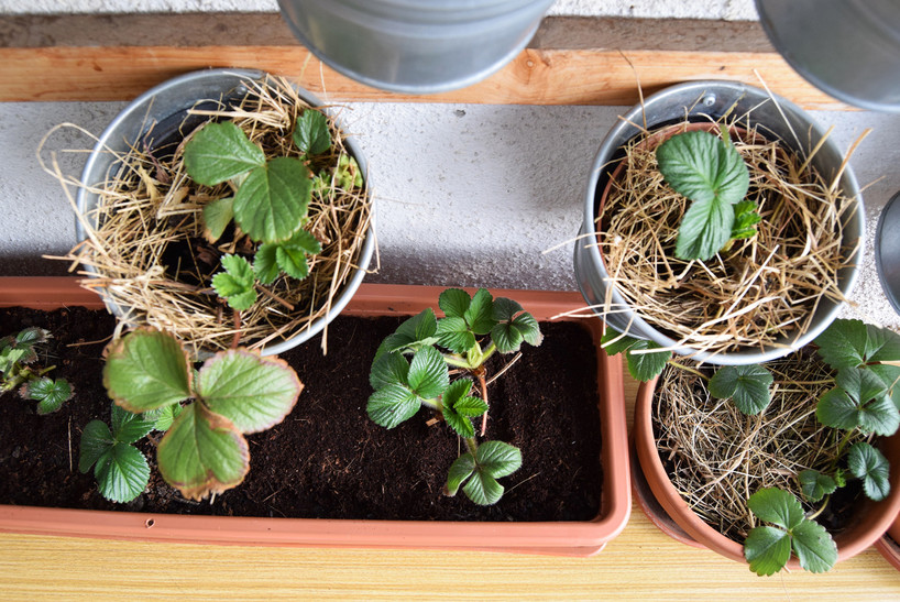 wintered strawberries