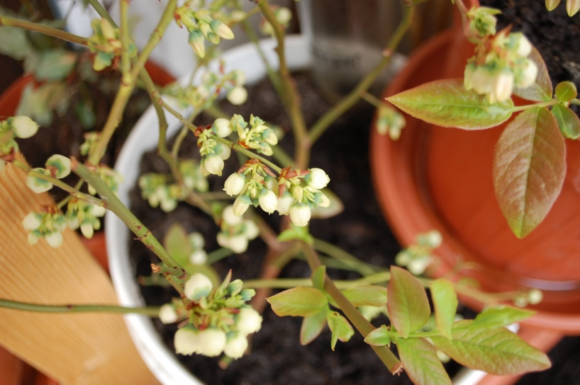 Blueberries growing in a container