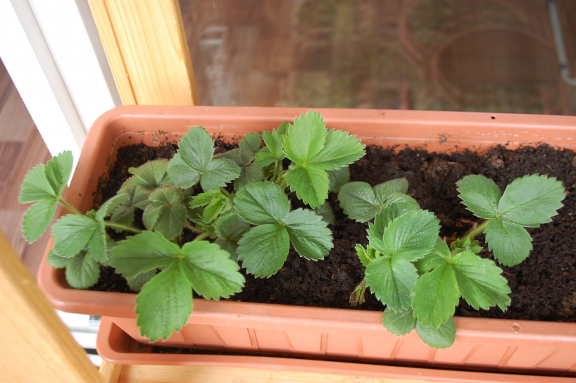 Strawberries awaking after the winter