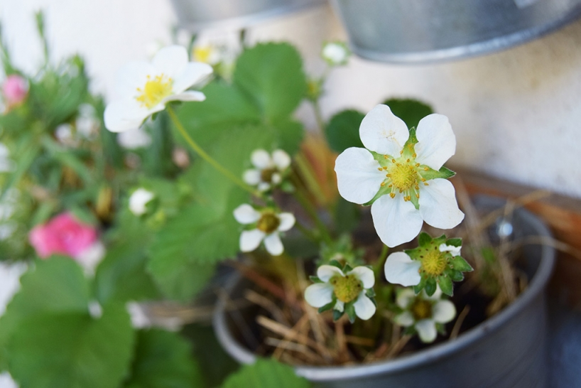 Strawberries in a pot