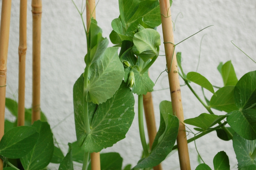 growing peas in a container