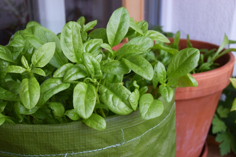spinach grown in a growing bag