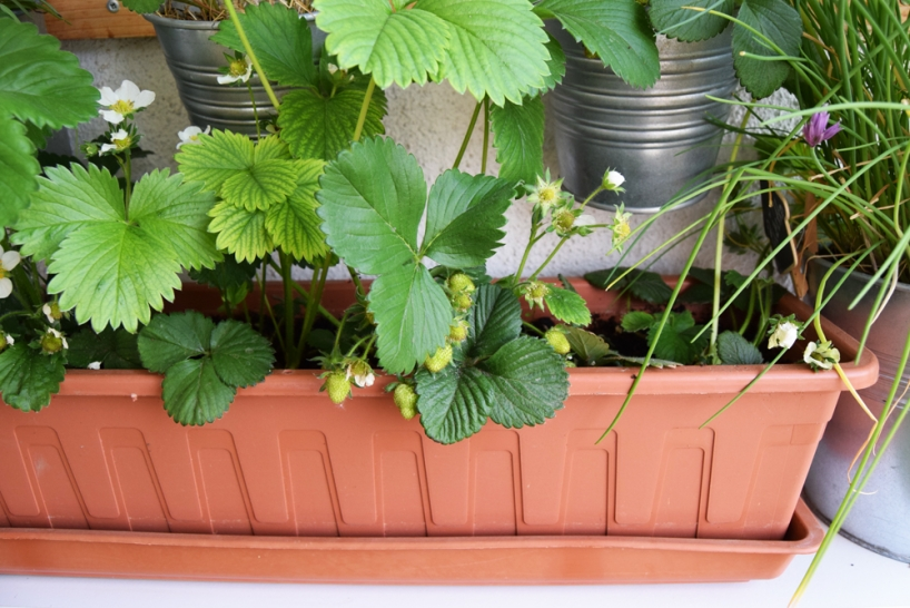 strawberries grown in a pot
