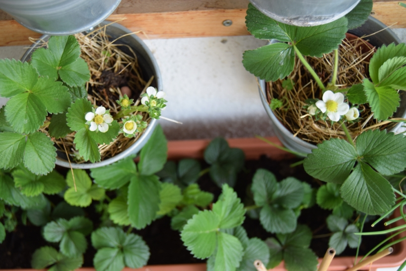 strawberries on the balcony