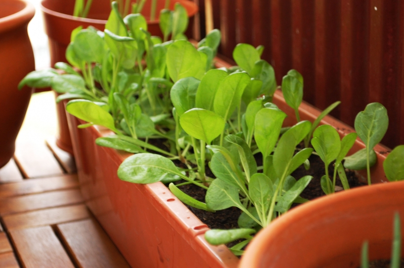 growing spinach in a pot