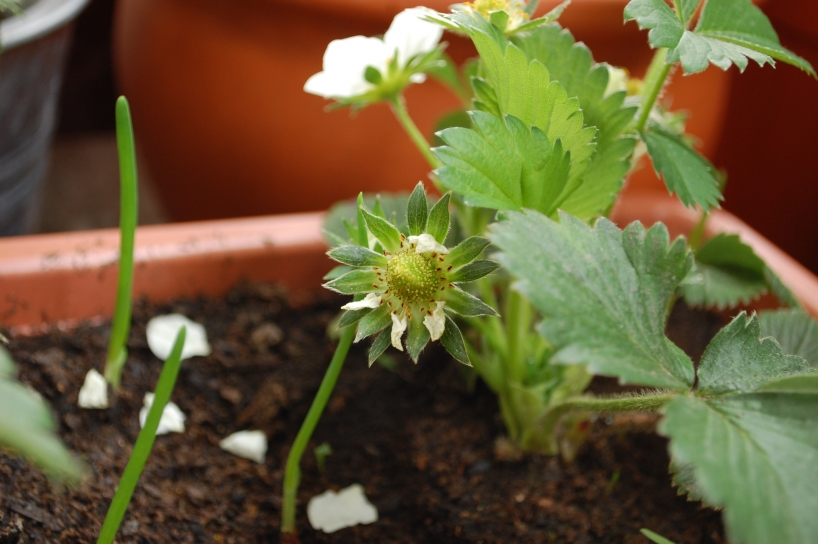 growing strawberies