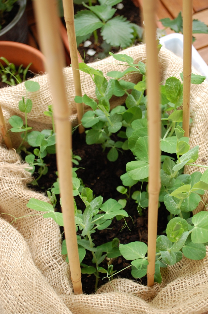 growing peas in container